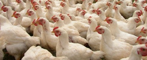 ...what the chickens I bought in Zambia looked like...
